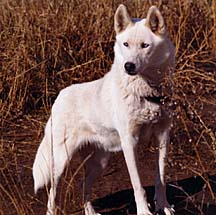 Lyl of Sepsequel was a Markovo Kennels Second Foundation Seppala Siberian sled dog used in the rescue of the Leonhard Seppala strain from impending extinction in the 1970s.