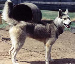 Seppala puppy Xaire of Markovo in 1973.