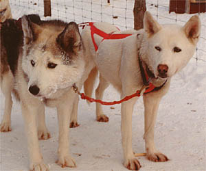 Kidron and Zirconia, Seppala Kennels Leaders